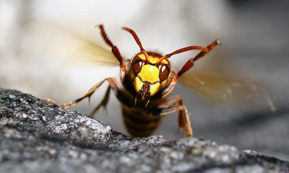 Murder Hornet 1