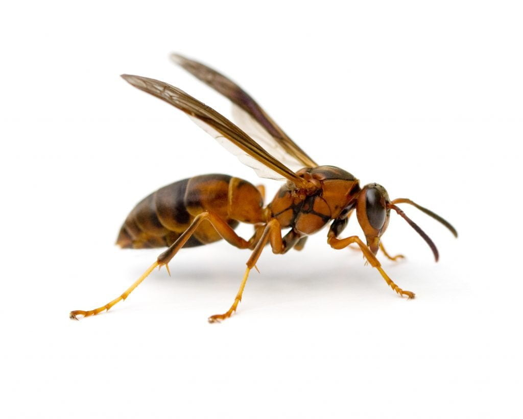paper wasps 1
