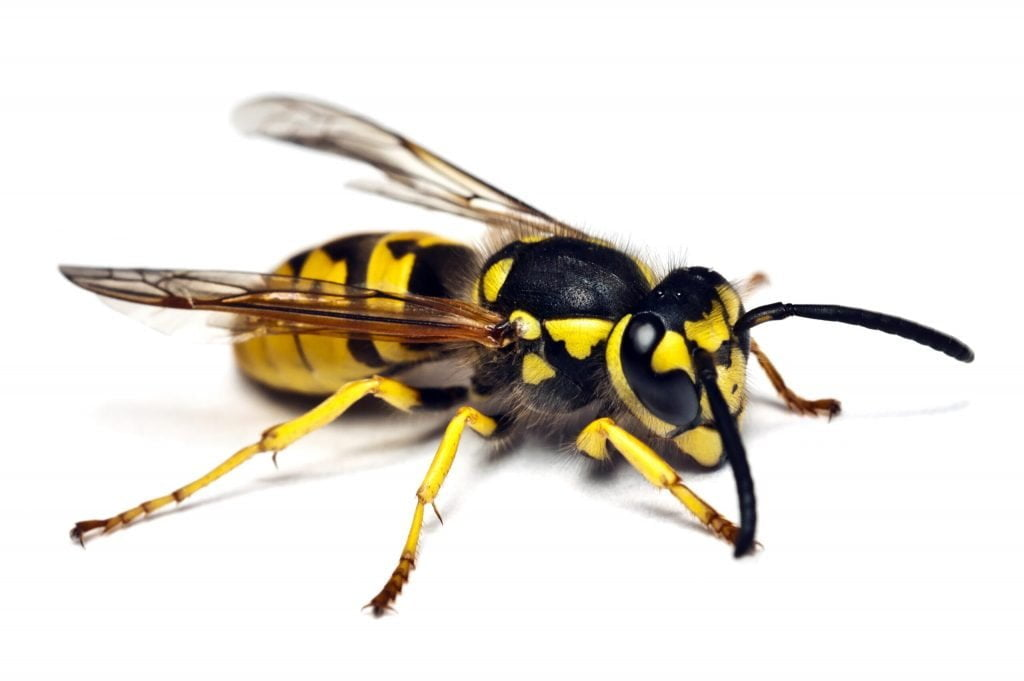 yellow jackets scaled 1